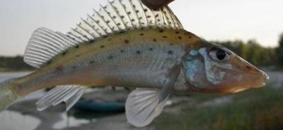 Червонокнижний йорж-носар: що варто знати про цей вид риби